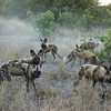 It took the dogs just a few minutes to locate a target.... a big male warthog. Let me say at this point, I have a whole new respect for warthogs. They're incredibly tough and totally fearless.  The rest of this hunt is an example of getting what you wish for and then wishing you hadn't.  David and I have followed wild dogs hunting many times.  We've heard them catch an animal only to arrive at the scene 2 minutes later to find nothing left.  Wild dog kills are lightening fast and the eating even faster.  At least that's the case when an antelope is the prey.