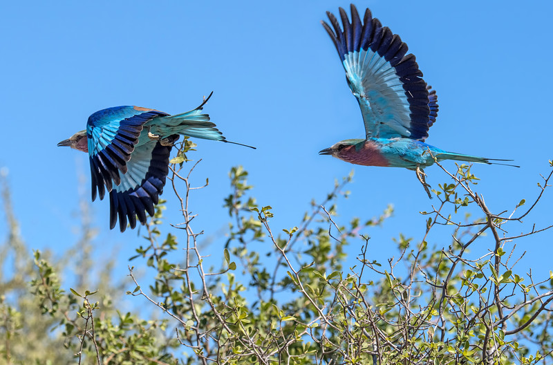 They're beautiful when perched, but magnificent in flight.