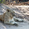 This lioness had stashed her 3 small cubs in a thicket for safety, then took a rest.  We left her and decided to return later to see if the cubs might emerge.
