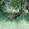 This is a really terrible photo, but we're unliky to ever see these animals again.  They're bush pigs.  Joseph had spent his entire life in this part of Africa and he'd only seen bush pigs once before.