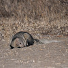 White-tailed mongoose.  Also nocturnal.