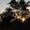 Elephant at sunset.