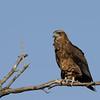Brown snake eagle.