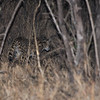 Serval.  These are beautiful, extremely shy, nocturnal cats.  We were fortunate to catch this brief glimpse.