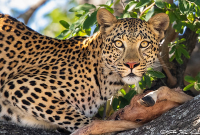 Leopard with young impala kill