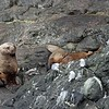 That's a gigantic male steller sea lion on the left.  Extreme size dimorphism in this species.