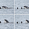 The male swam up to her and lifted himself partially out of the water, resting his head on her tummy, before sinking back again.  Orcas have complex courtship rituals, but actually mate underwater.  I believe they were courting here.