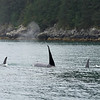 Mature males are significantly larger than females.  Easy to spot them by their towering dorsal fins.