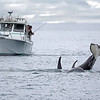 Took these fisherman a few seconds to realize how close the orcas were to their boat.  One orca was heading back towards our boat and one was heading straight for the fishing boat.