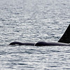 A bit later we encountered this female and male swimming together separate from other orcas.