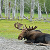 After about an hour's drive, we arrived at the Alaska Wildlife Conservation Center.  This is a large tract of land which houses animals that can't be returned to the wild.  As a friend warned me, this isn't the way you want to see Alaskan wildlife.  However, as the trip unfolded, we were beginning to think this visit wasn't so bad afterall..... except for 1 moose sighting on our way out of Denali Park, this was the only moose we saw on the entire trip.