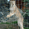"Lynx.  There are 2 lynx siblings at the Center.  They were orphaned at a very young age and have spent their lives here.  This one has spotted a baby deer in a nearby enclosure.  ""Let me out!!"""