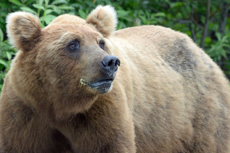 And then, one final bear.  He was huge.
