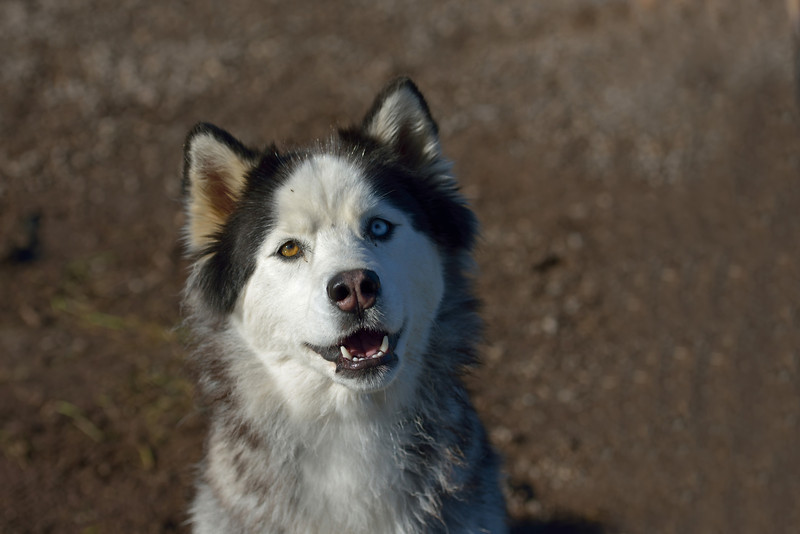 One of two bear-sniffing huskies at the lodge.  Really.  These dogs ride on the boats and can smell a bear a mile away.