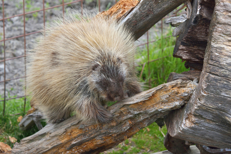 This is a porcupine.  Not at all what I was expecting in terms of appearance.