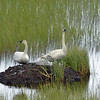 Either tundra swans (largest waterfowl in the world), or their smaller relatives, trumpeter swans.