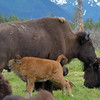 It was calf season for the captive bison.  Again, these are the only bison we saw.