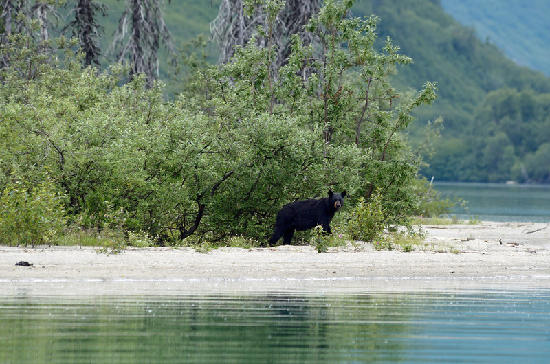 Next up was this black bear.  Black bears, being significantly smaller than coastal brown bears, wisely head for the hills when the big bears move in.  Our guide said we were lucky to find this one.