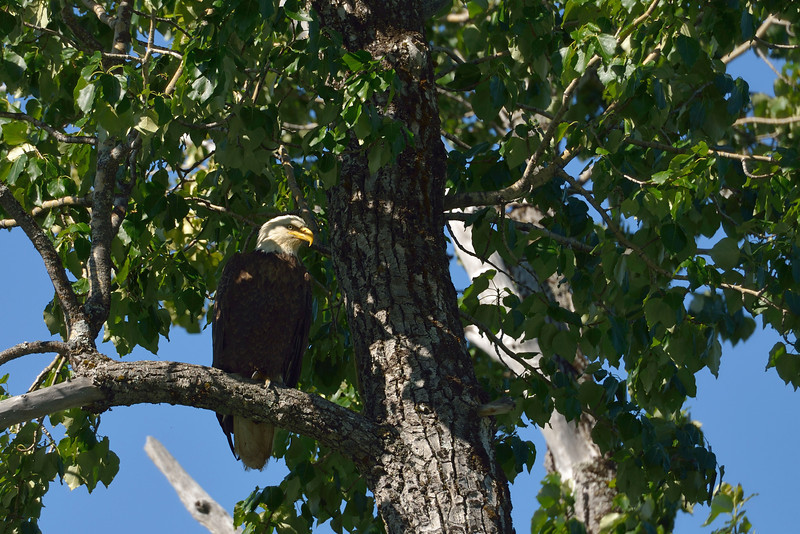 One of the eagles allowed us to get close enough for photos before flying off.