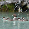 Female Goldeneye with her young ones.