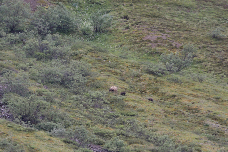 Distant view of a female grizzly with 2 cubs.