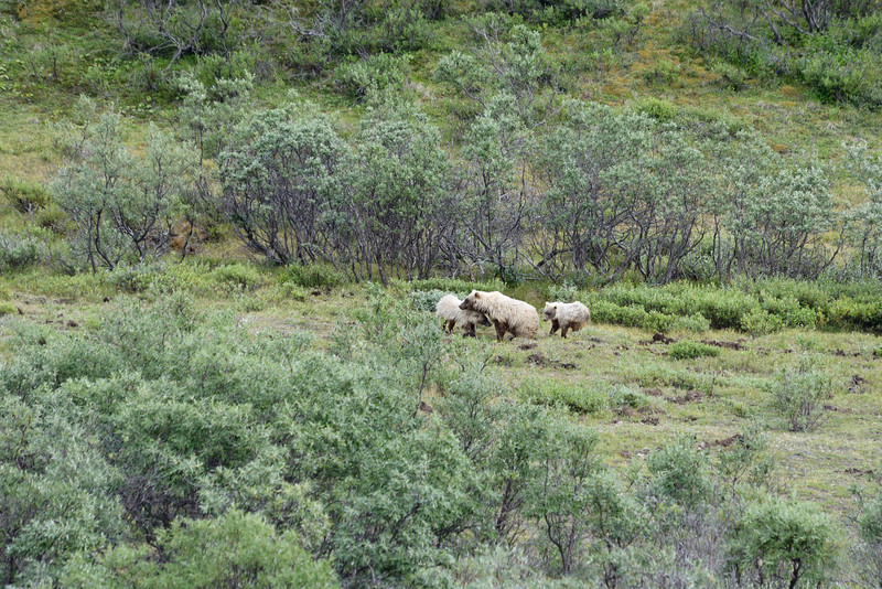 Distant grizzly with 2 cubs.