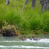 Merganser mom with THIRTEEN! chicks.  We saw her all 3 days we were on the water.  On our last day, she still had 13 chicks.