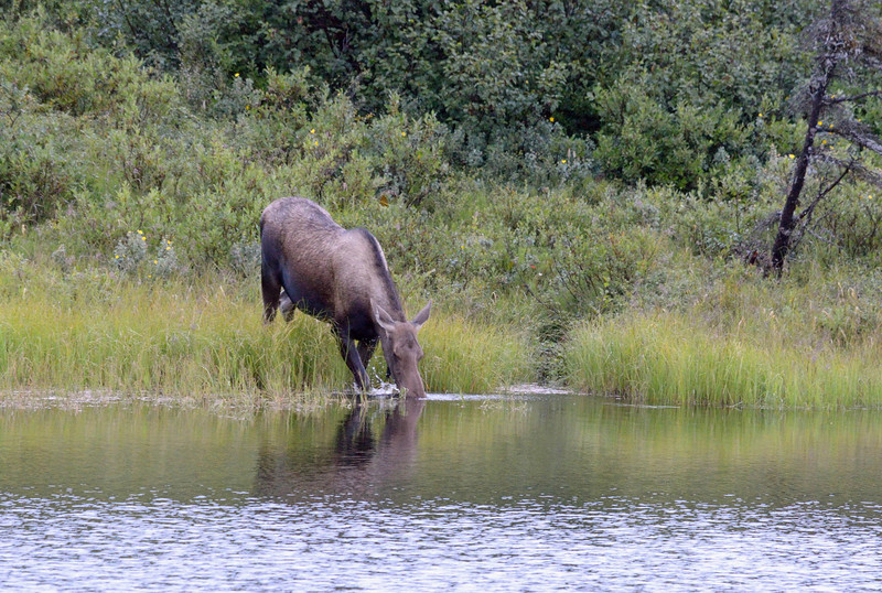Finally!  A moose in the wild.