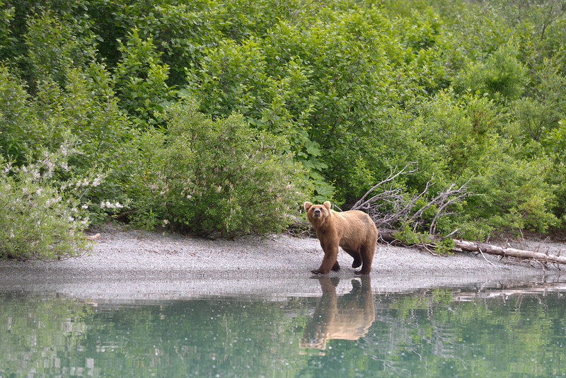 """We found this brown bear wandering along the shoreline.  The bears pace back and forth near the water all day long waiting for the salmon to be """"catchable"""".  It reminded me of the way polar bears pace along the waters edge waiting for it to freeze so they can go hunt seals."""