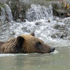 Coastal brown bears and inland grizzly bears are sub-species of the brown bear. The main difference between them is their size, which in turn is due to the differences in their diets.  An adult berry-eating grizzly living inland may weigh as little as 180 lbs, while an adult coastal brown bear living on a steady, protein-rich diet of spawning salmon may weigh as much as 1,500 lbs.