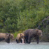 That's Chuck and her 2-yr old cubs.  Chuck was first spotted near the lodge 3 years ago.  She was a large, aggressive bear, so the lodge managers assumed she was male and named her Chuck.  Much to everyone's surprise, Chuck showed up the following year with these 2 little ones in tow.<br /> <br /> Silver salmon were running strong, so it was fairly easy for even the young bears to catch their own fish.