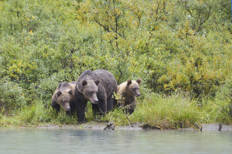 Chuck and her cubs did likewise.  Turns out the two families had gotten very close to each other.