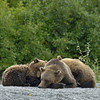 Next we found Chuck and her cubs resting on the shore.