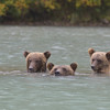 This seemed too good to pass up, so Chuck and the cubs swam over to investigate.  Of all the bears who frequent the area, Chuck is the only one who has taught herself to dive.  The platform had intentionally been built in deep water so Chuck couldn't scavenge the bottom for carcasses.  Eventually, the family swam back to shore.
