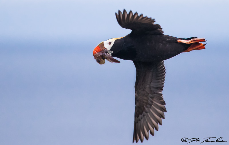 Tufted Puffin with squid