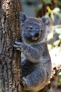 classic koala pose