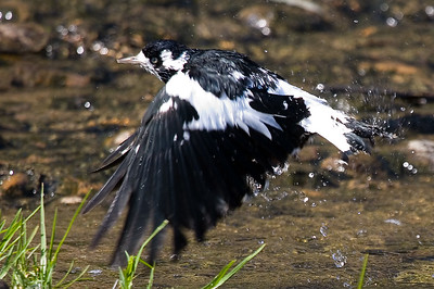 magpie shaking it off
