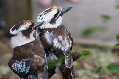 blue winged kookaburra couple
