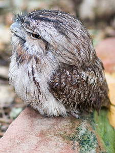 tawney frogmouth (owl)