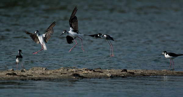 Skimmers and other birds from Radio Road