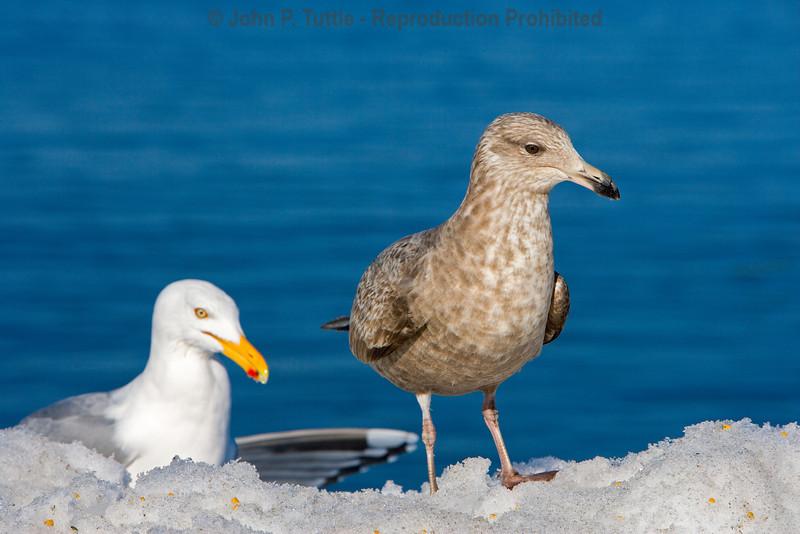 Seagulls in Perkins Cove 4