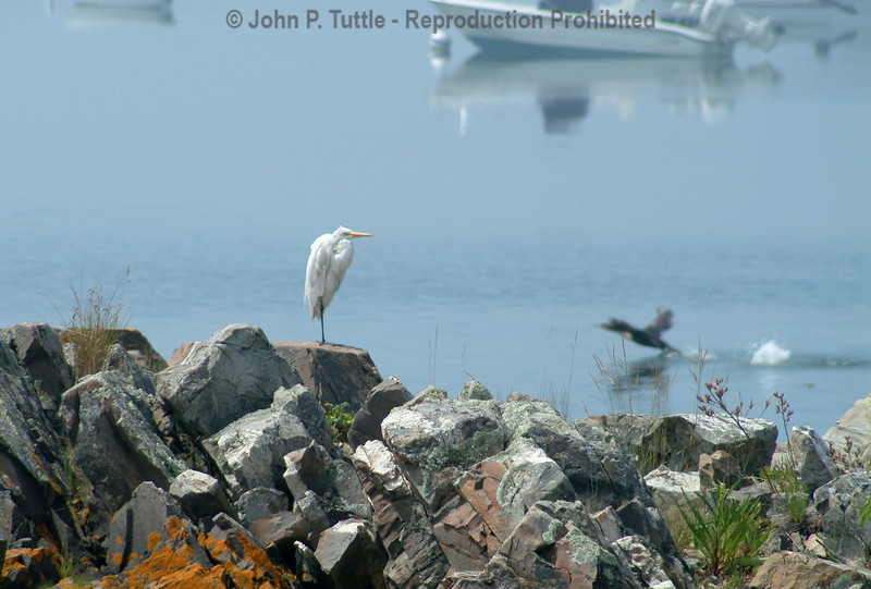 Heron in Maine
