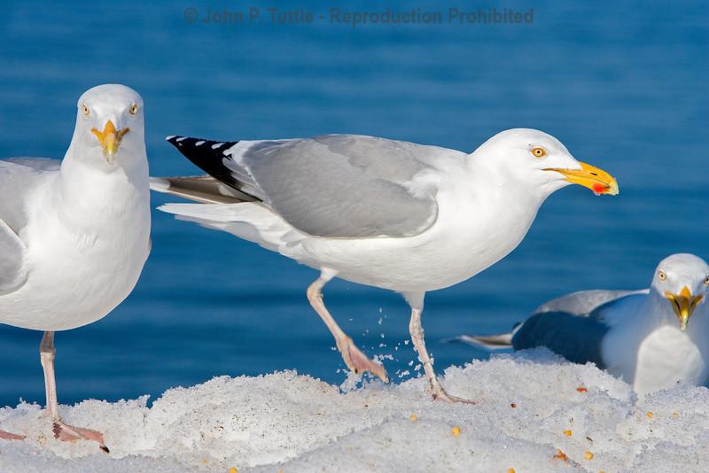 Seagulls in Perkins Cove 3