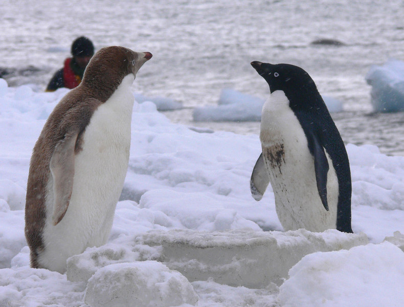 Leucistic (not a true albino, but close) Gentoo on left, Adelie on right.