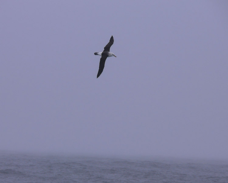 Albatross (have to get my book to determine what kind)