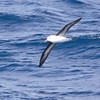 I think this is a Wandering Albatross (largest flying bird...12 ft wingspan)