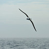 Black-browed albatross, a common sight in the Southern Ocean.  It's a medium-sized albatross with a wingspan up to 8 feet and a natural lifespan up to 70 years.