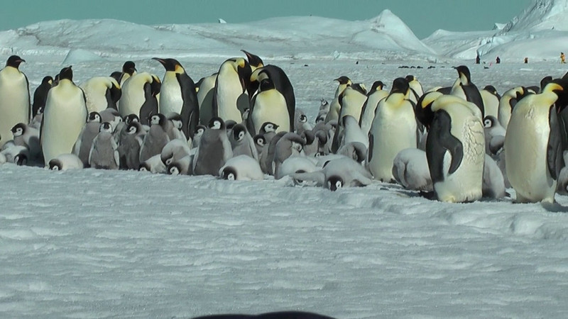 VIDEO - these penguins are lined up on one side of the small trench the little penguin fell into.