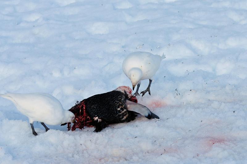 Snowy sheathbills feasting on a carcass.