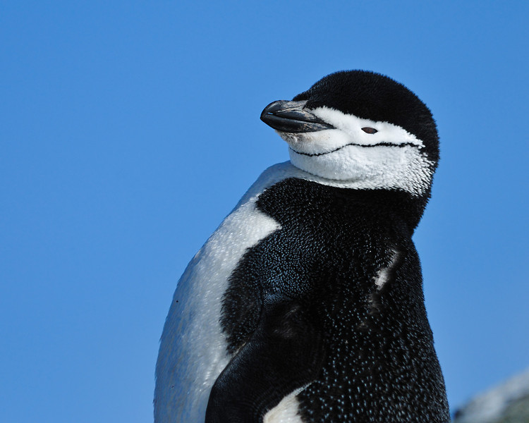 I love the way birds are named. Here we have a Chinstrap.... doesn't take great imagination to figure out that one.